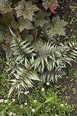 "Japanese Painted Fern ""Pictum"" Jardin du fond de l'or France ; Garden : ""Jardin du fond de l'or"" Mr Lubet"