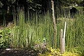 """Scouringrush Horsetail Jardin du fond de l'or France ; Garden : """"Jardin du fond de l'or"""" Mr Lubet"""