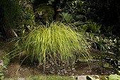 """Bowl Golden """"Aurea"""" Jardin du fond de l'or France ; Garden : """"Jardin du fond de l'or"""" Mr Lubet"""