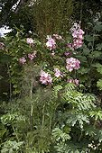 "Rose ""Marguerite Hilling"" Fennel ""Purpureum"" and Melianthus ; Garden : ""Jardin du fond de l'or"" Mr Lubet"