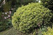 """Cherry Laurel """"Castelewellan"""" Jardin du fond de l'or France ; Syn. """"Marbled White<br><br>Garden : """"Jardin du fond de l'or"""" Mr Lubet"""