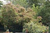 """American Smoketree Jardin du fond de l'or France ; Syn. : americanus<br><br>Garden : """"Jardin du fond de l'or"""" Mr Lubet"""
