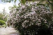 """Kolkwitzia """"Pink Cloud""""  Jardin du fond de l'or France ; Garden : """"Jardin du fond de l'or"""" Mr Lubet"""