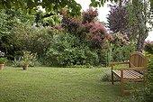 """Wood bench and Smoketree """"Grace""""  in garden France ; Garden : """"Jardin du fond de l'or"""" Mr Lubet"""