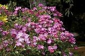 "Rose ""Yesterday"" in may Jardin du fond de l'or France ; Garden : ""Jardin du fond de l'or"" Mr Lubet"