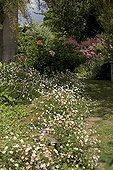 "Erigeron in may Jardin du fond de l'or France ; Garden : ""Jardin du fond de l'or"" Mr Lubet"