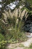 "Ampelodesmos in may Jardin du fond de l'or France ; Garden : ""Jardin du fond de l'or"" Mr Lubet"