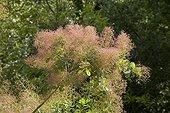 """American Smoketree in may Jardin du fond de l'or France ; Garden : """"Jardin du fond de l'or"""" Mr Lubet"""