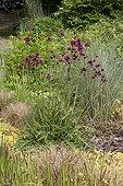 """Brook Thistle """"Atropurpureum"""" Jardin du fond de l'or France ; Garden : """"Jardin du fond de l'or"""" Mr Lubet"""