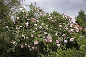 "Rose ""Albertine""  in may Jardin du fond de l'or France ; Garden : ""Jardin du fond de l'or"" Mr Lubet"