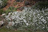 """Snow in summer  in may Jardin du fond de l'or France ; Garden : """"Jardin du fond de l'or"""" Mr Lubet"""