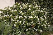 Mexican Orange Blossom flowers in April France