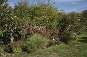 Pink Asters at Jardin de Ginette Haute-Vienne France