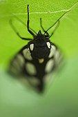 Cream-spot Tiger on a leaf Bulgaria