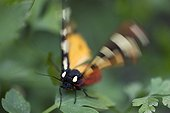 Cream-spot Tiger flapping wings on a leaf Bulgaria