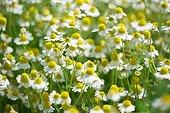 German chamomiles in bloom Bulgaria