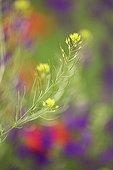 Inflorescence of Herb sophia Bulgaria