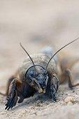 Portrait of an European Mole Cricket Bulgaria