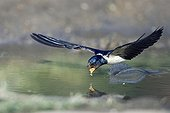 Barn Swallow drinking in flight Bulgaria