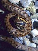 Smooth snake eating a Wall lizard Bas-Rhin France