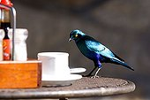 Greater Blue-eared Glossy-Starling on a table South Africa