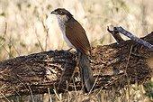 Coucal de Burchell sur un tronc PN Kruger Afrique du Sud