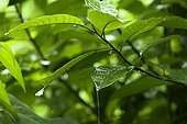 Pluie sur des feuilles de la forêt primaire Indonésie ; Sungei Wein