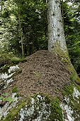Big ant-hill against a trunk of Fir in june Haut-Rhin France