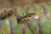 Southern wood ants on a cone of Norway spruce France