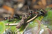 Southern wood ants carrying a twig on a cone France