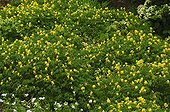 Tapis de Corydales jaunes