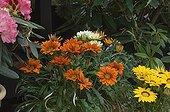Flowering Gazanias on a terrace