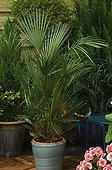 Potted European Fan Palm on a terrace