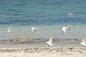 Black-naped Terns and fairy Terns flying above water ; Site: South lagoon