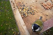 Portrait of a Great Tit on a bird table in a garden London