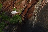 Northern fulmar chick on a cliff Wales ; Skokholm, Pembrokeshire island.
