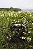 Manx shearwater remains amongst Sea mayweed Wales ; Skokholm, Pembrokeshire island.