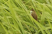 Reed warbler singing in a reebed England