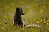 Arctic fox sat in a meadow during springtime in Iceland ; The flanks and the tail of the animal shows remains of wintry livery.