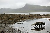 Arctic fox on the banks of a lake drinking water in Iceland ; The flanks and the tail of the animal shows remains of wintry livery.