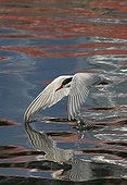 Common tern skimming the water surface England
