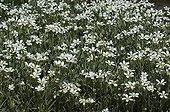 White multitude Snow in summer flowers