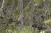 Chouette lapone dans la forêt du Parc de Hamra Suède