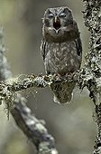 Tengmalm's Owl yawning in the forest of Fulufjället Sweden
