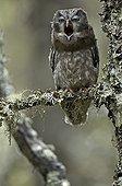 Chouette de tengmalm baillant forêt de Fulufjället Suède