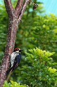 Acorn woodpecker on the trunk of a tree Costa Rica