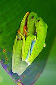 Mating of red-eyed treefrogs on a leaf in jungle Costa Rica