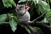 Loir gray eating red berries in Alsace