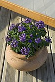 Potted Heliotrope on a wooden garden terrace Provence