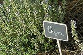 Thym en fleurs dans un jardin de plantes aromatiques